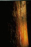 Finsk tjæremile harpiksrigt træ